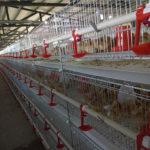 Клетки для цыплят бройлеров