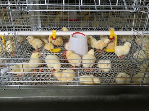 купить ниппельные поилки для цыплят
